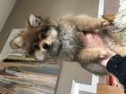 Pomeranian Puppy For Sale in BRICK, NJ, USA