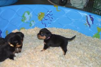 Rottweiler Puppy For Sale in PHOENIX, AZ