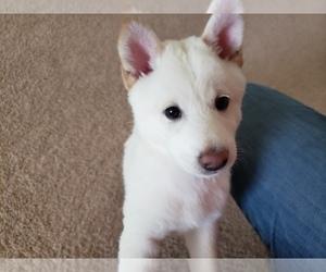 Shiba Inu Puppy for Sale in DAVENPORT, Florida USA
