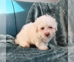 Bichon Frise Dog for Adoption in LE MARS, Iowa USA