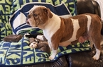Olde English Bulldogge Puppy For Sale in OLYMPIA, WA