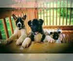 Akita Puppy For Sale in LENA, WI, USA