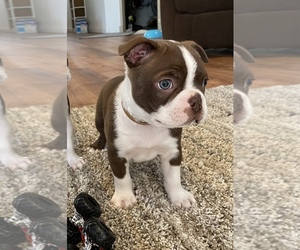 Boston Terrier Puppy for sale in COTTONWOOD, CA, USA