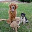 Golden Retriever Puppy For Sale in MAIDEN, NC