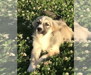 Australian Shepherd-Saint Bernard Mix Puppy for sale in ROSHARON, TX, USA