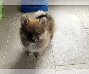 Pomeranian Puppy for sale in BAKERSFIELD, CA, USA