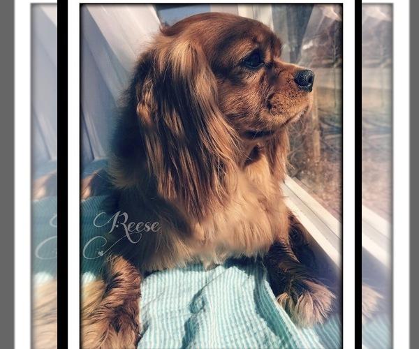Medium Photo #1 Cavalier King Charles Spaniel Puppy For Sale in AVOCA, NY, USA