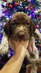 German Shorthaired Pointer Puppy For Sale in CAMBRIDG SPGS, PA, USA
