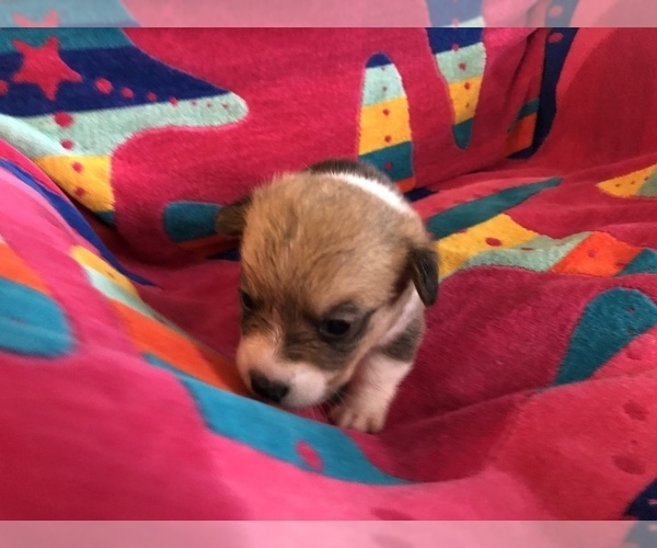 Medium Photo #5 Pembroke Welsh Corgi Puppy For Sale in RAMONA, OK, USA