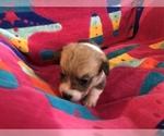 Small Photo #5 Pembroke Welsh Corgi Puppy For Sale in RAMONA, OK, USA