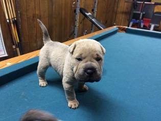 Mini Toy Shar Pei Puppies – Wow Blog