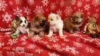 Pomeranian Puppy For Sale in WILLIAMSTOWN, NJ