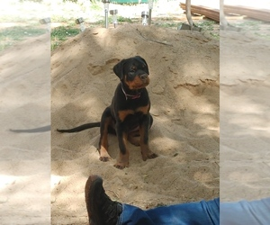 Rottweiler Puppy for sale in SHOW LOW, AZ, USA
