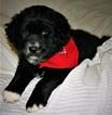 Border-Aussie Puppy For Sale in SALEM, OR, USA