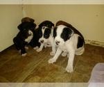 Small #9 America Bandogge Mastiff