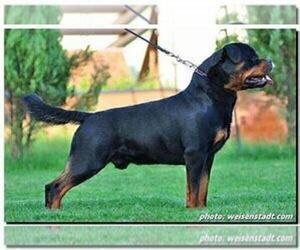 Father of the Rottweiler puppies born on 10/11/2019