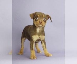 Australian Shepherd-Miniature Pinscher Mix Puppy for Sale in WARSAW, Indiana USA
