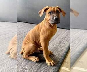 America Bandogge Mastiff Puppy for Sale in JOLIET, Illinois USA