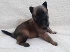 AKC Belgian Malinois puppies