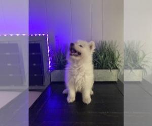 Samoyed Dog for Adoption in SAN BERNARDINO, California USA