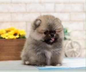 Pomeranian Puppy for sale in SAN FRANCISCO, CA, USA