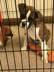 Boxer Puppy for sale in BELLINGHAM, WA, USA