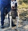 Small #8 Dogo Argentino