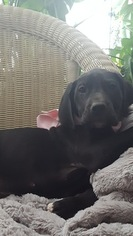 Great Dane Puppy for sale in ELLSWORTH, WI, USA