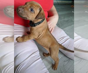 Rhodesian Ridgeback Puppy for sale in POWDER SPGS, GA, USA