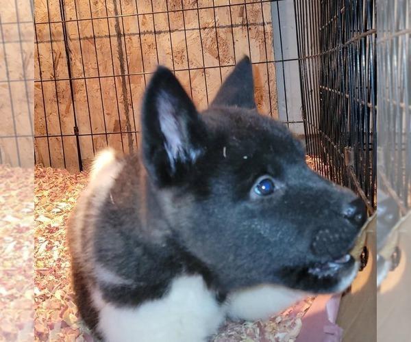Medium Photo #2 Akita Puppy For Sale in MEM, TN, USA