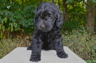 Australian Labradoodle Puppy For Sale in WADDY, KY