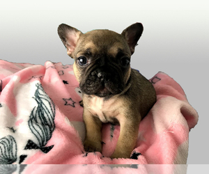 French Bulldog Puppy for Sale in BELLEAIR, Florida USA