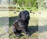 Small German Shepherd Dog-Mastiff Mix
