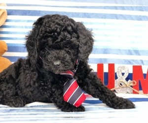Poodle (Miniature) Puppy for sale in CLAY, PA, USA