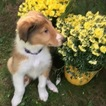 Collie Puppy For Sale in PITTSTON, PA, USA