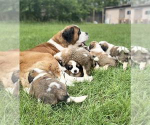 Saint Bernard Puppy for sale in LILLINGTON, NC, USA