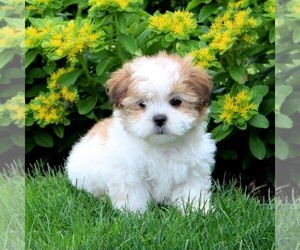 Mal-Shi Puppy for sale in QUARRYVILLE, PA, USA