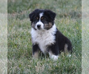 Australian Shepherd Puppy for Sale in MEDFORD, Oregon USA