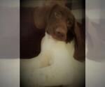 Puppy 4 German Shorthaired Pointer