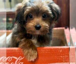 Poodle (Toy)-Yorkshire Terrier Mix Puppy for sale in OTTAWA, KS, USA