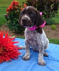 German Shorthaired Pointer Puppy for sale in SUGARCREEK, OH, USA