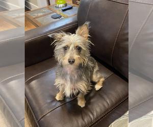 Malchi Puppy for sale in SOCIAL CIRCLE, GA, USA