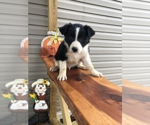 Border Collie Puppy for sale in SACRAMENTO, KY, USA