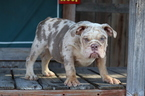 English Bulldog Puppy For Sale in LOS ANGELES, California,