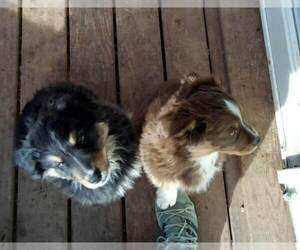 Australian Shepherd Dog for Adoption in COTOPAXI, Colorado USA