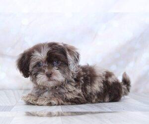 Shih-Poo Dog for Adoption in MARIETTA, Georgia USA