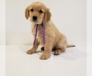 Golden Retriever Puppy for sale in VISALIA, CA, USA