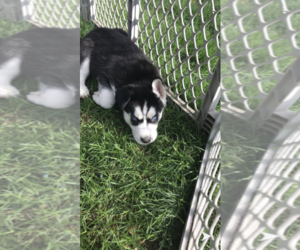 Siberian Husky Puppy for sale in BROCKTON, MA, USA