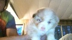 Australian Shepherd Puppy For Sale in LINCOLN, MO, USA