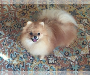 Pomeranian Puppy for sale in PLEASANT HILL, CA, USA